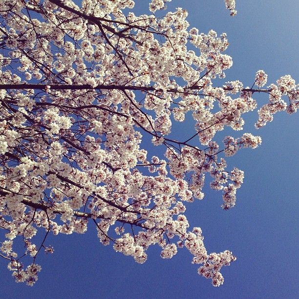 #london #sakura pt.2 #cherryblossom #spring